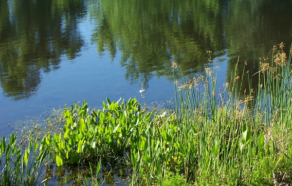 aquatic-weeds-lake-pond-21.jpg