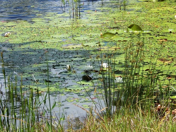 aquatic-weeds-lake-pond-22.jpg
