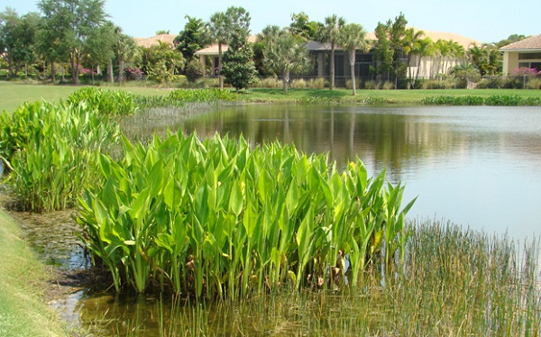 aquatic-weeds-lake-pond.jpg