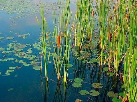 lake-pond-aquatic-weed-cattail23.jpg